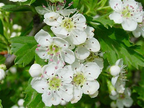 biancospino fiori biancospino