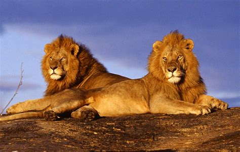imagenes de leones full hd fondo escritorio leones fondos leones para fondo de