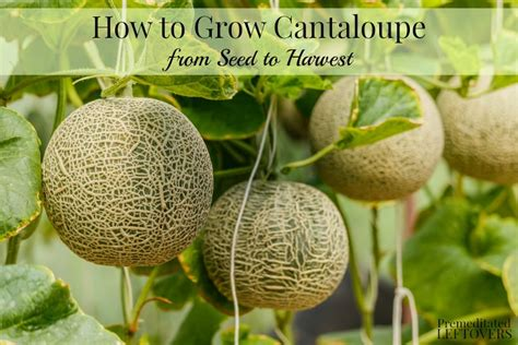 how to grow cantaloupe in your garden from seed to harvest