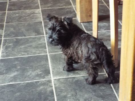 miniature westie puppies for sale miniature schnauzer x westie puppies for sale blairgowrie perthshire pets4homes
