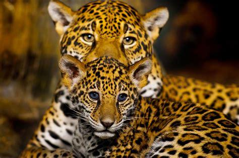imagenes de jaguar bebe l image de la semaine un b 233 b 233 jaguar et sa maman se