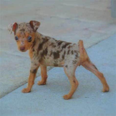 its a dapple min pin! OMG!   puppies   Pinterest