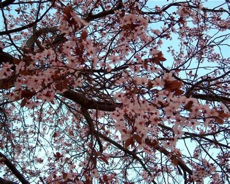 fiori di susino alberi da frutto mirabolano