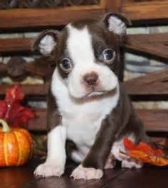 boston terrier puppies missouri breed beagle pups puppies for sale new south wales beagle dogs for