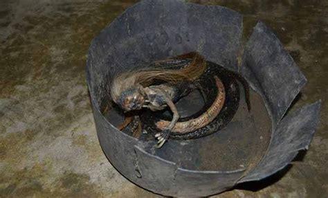 heboh warga seuneuddon aceh utara temukan ular berkepala warga seunuddon aceh utara temukan ular berkepala manusia