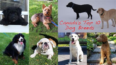 most popular breeds top 10 most popular breeds in canada in 2015 tails