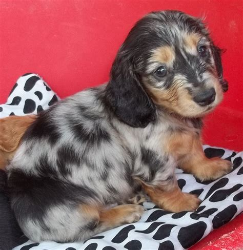 silver dapple miniature dachshund puppies for sale silver dapple miniature dachshund puppy spilsby lincolnshire pets4homes