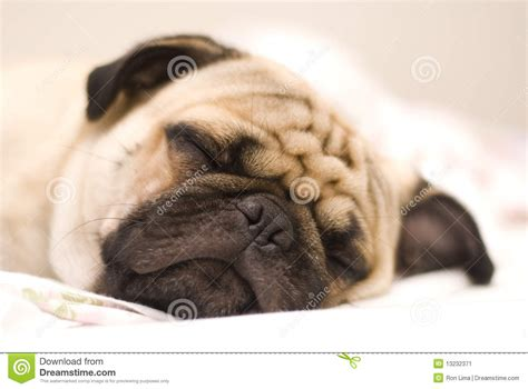pug puppy bed pug stock image image 13232371