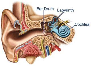 ear cross section fergusons hearing aid clinic how do we hear hearing