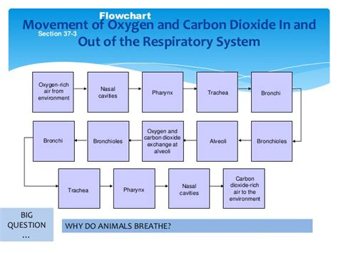 section 37 3 the respiratory system respiratory system