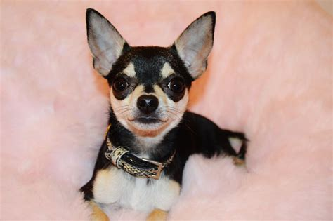 chihuahua puppy names chihuahua names names for chihuahua breeds picture