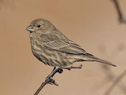 house finch symbolism finch dream meaning and interpretations dream stop