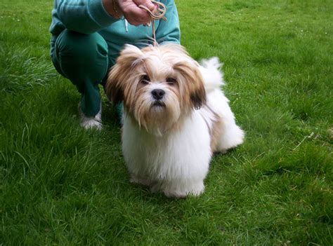 lhasa apso puppies for sale lhasa apso puppy for sale hereford herefordshire pets4homes