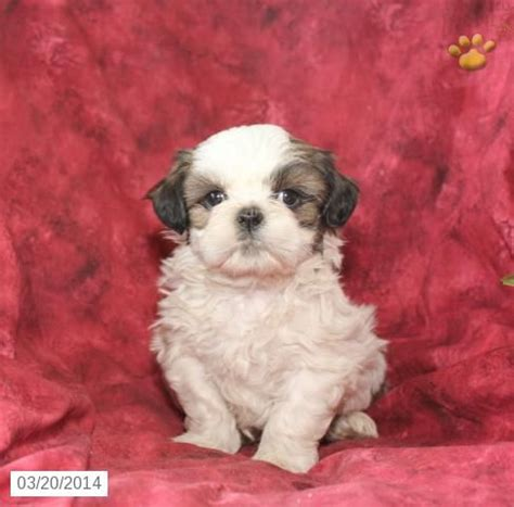 shih tzu puppies in pa 28 best images about shih tzu on johns barking and mike d antoni