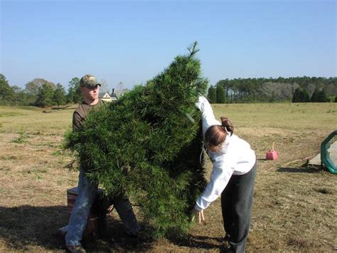 28 best louisiana christmas tree farms photo gallery