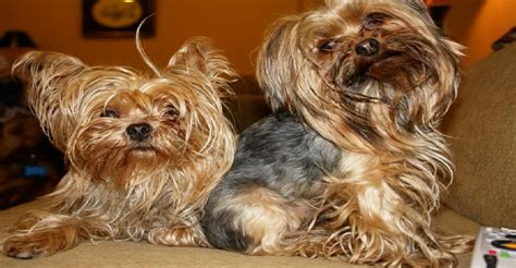 yorkie breed characteristics terriers