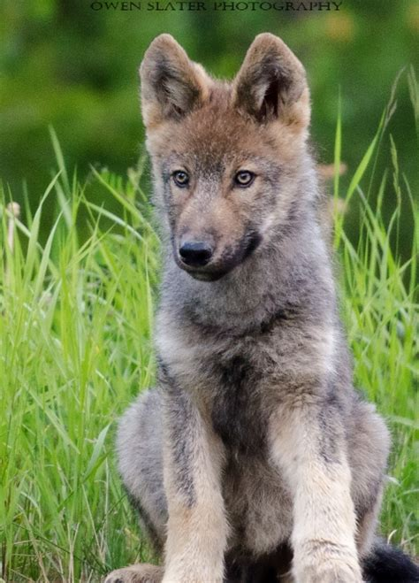 what is a wolf wolf pup owen slater photography