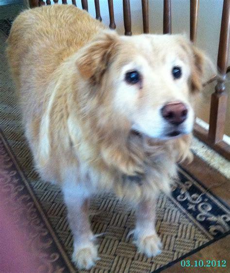 prednisone dogs abruptly stopping prednisone in dogs