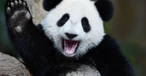 mengenal panda lebih dekat deskripsi klasifikasi