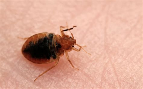 bed bugs don t bring don t let the bed bugs bite bughead pest control dallas tx