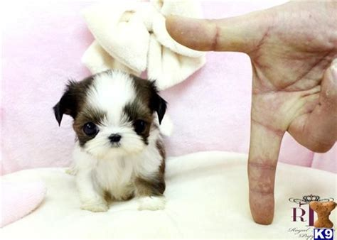 tiny shih tzu breeders 1000 images about puppies on teacup poodle puppies poodles and yorkies