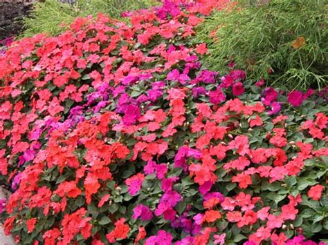 pictures of flowers impatiens