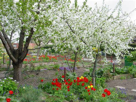garten tulpe tulipa gesneriana