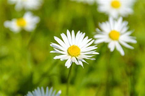 fiori camomilla foto gratis natura flora estate vegetazione erba
