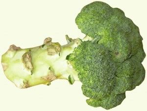 is broccoli ok for dogs can dogs eat broccoli pethority dogs