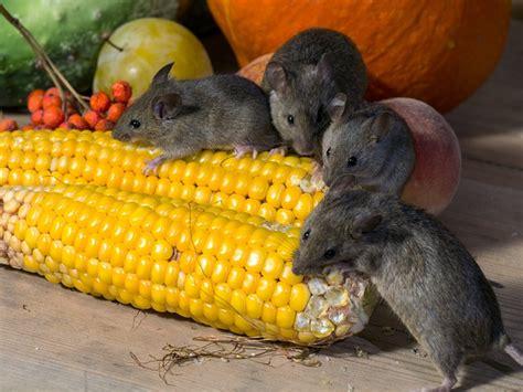 sognare un topo in casa cosa significa sognare topi o ratti interpretazione dei