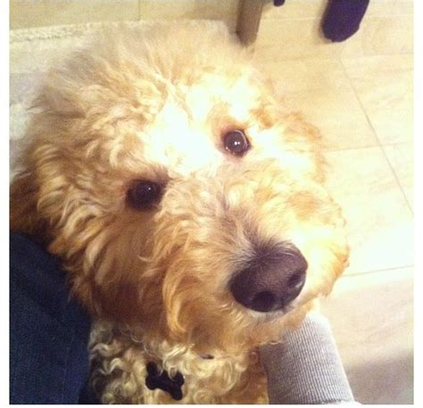 goldendoodle puppy breathing fast 14 best goldendoodle haircut images on
