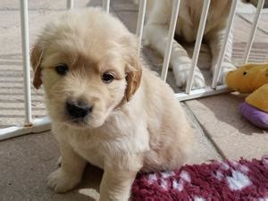 golden retriever puppies plymouth pedigree kc registered golden retriever puppies in