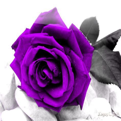 Imagenes De Rosas Negras Y Moradas | imagenes de rosas moradas imagui