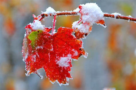 snow on maple leaves cooke maple leaf with snow photograph by alan lenk