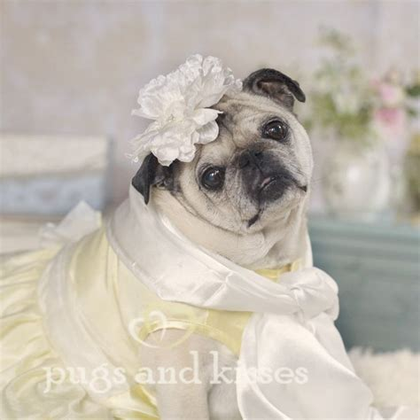 pug wedding dress 38 best images about pug on a pug pug puppies and acting
