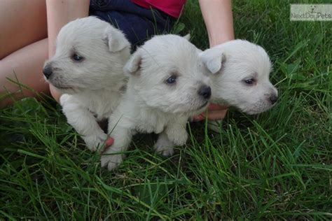 west highland terrier puppies for sale near me akc west highland white terrier westie puppy for sale near buffalo new