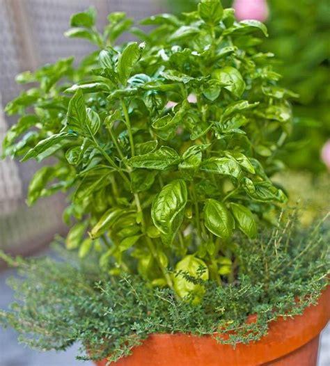 best herbs for container gardening best herbs for container gardens