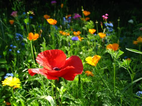 replace  high maintenance lawn  easy care wildflowers