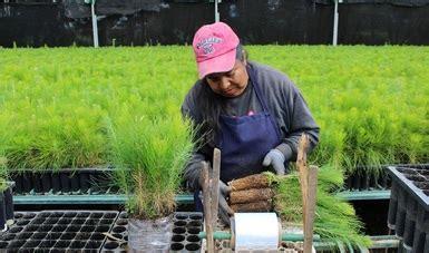 listado de beneficiados por la conafor 2016 sube 15 la producci 243 n de planta forestal de conafor