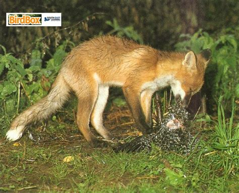 fox food 02 the fox hotel food chain with red fox best chain 2018