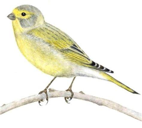 verzellino alimentazione allevamento fringillidi e pappagallini allevare e ama