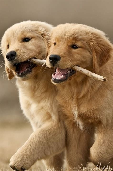 how to a golden retriever to hunt 1000 images about golden retriever on