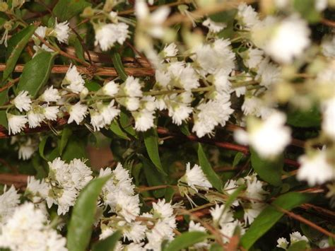shrub with small white flowers in 2m shrub deciduous lots small white flowers