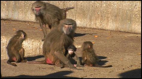 mother baboon protecting baby papio hamadryas youtube