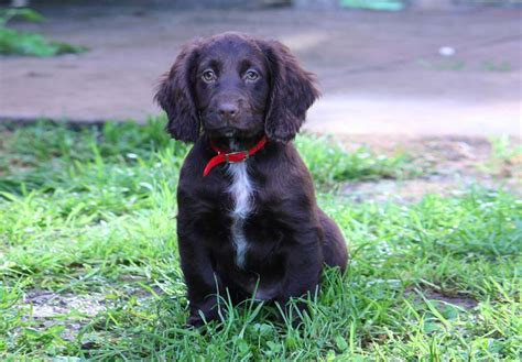 water spaniel puppies for sale american water spaniel dogs puppies for sale breeds picture