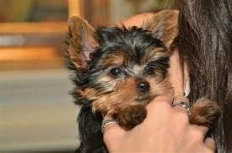 yorkie house house trained yorkie puppies for sale offer malta 250