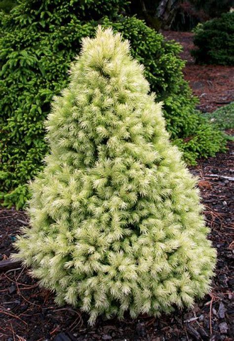 dwarf shrubs evergreen 25 b 228 sta trees id 233 erna p 229