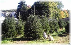 cut your own christmas tree albany ny abel s trees 25 acres of cut your own trees in verbank ny