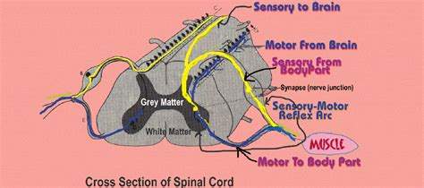 spinal cord x section lameness