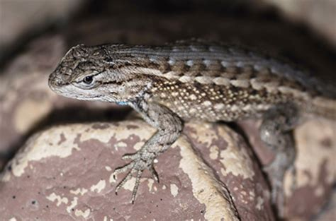 types of lizards with names images